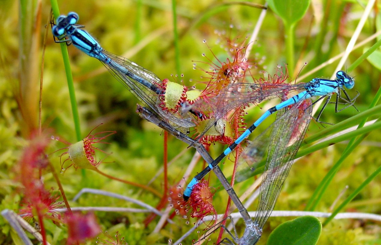 What is Drosera, the Sundew Plant?