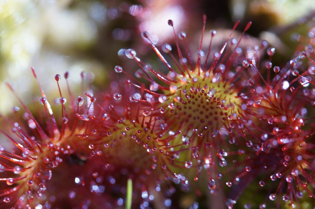 the sundews plants